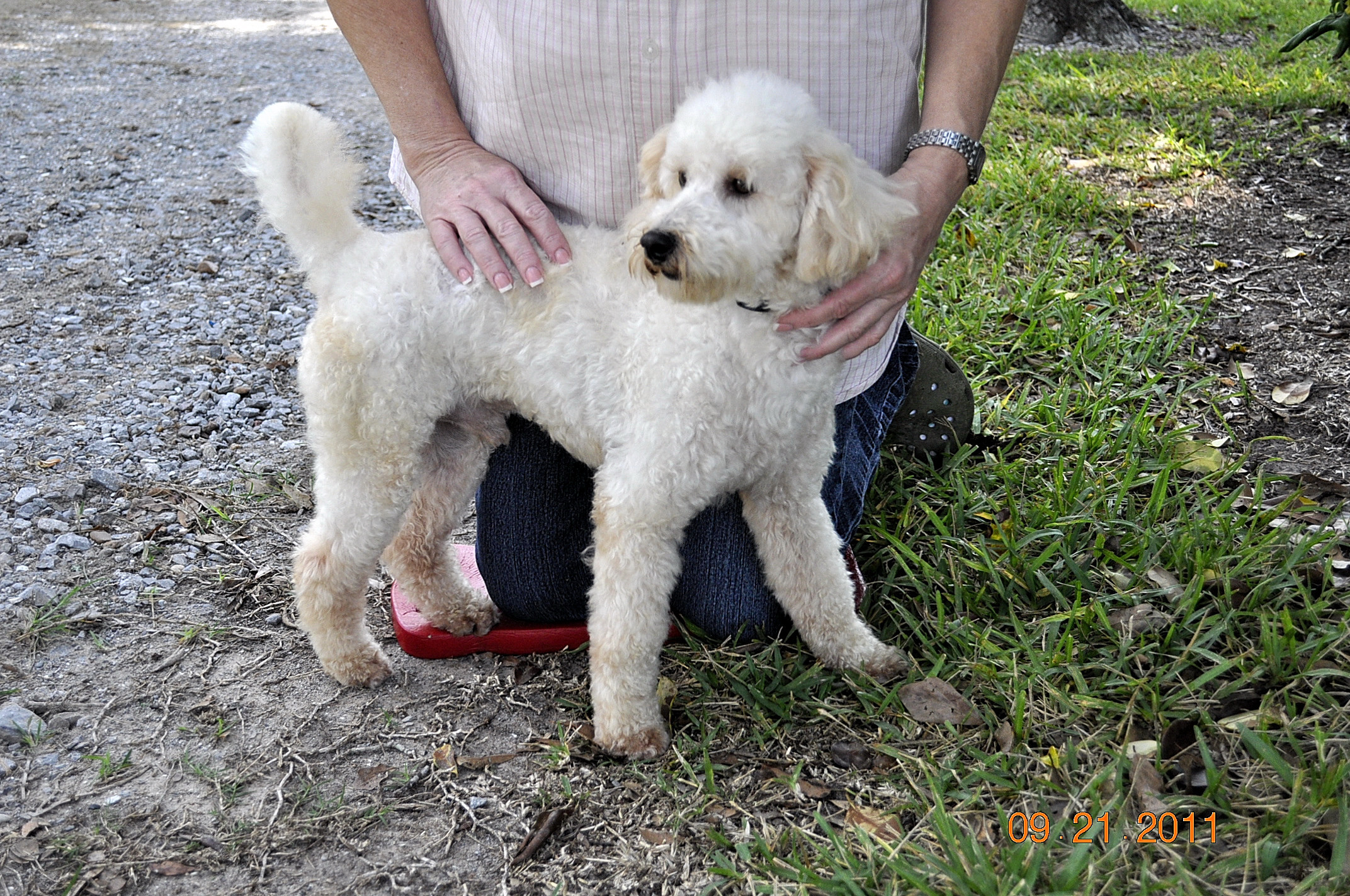 Full Grown Poodle | www.imgkid.com - The Image Kid Has It!