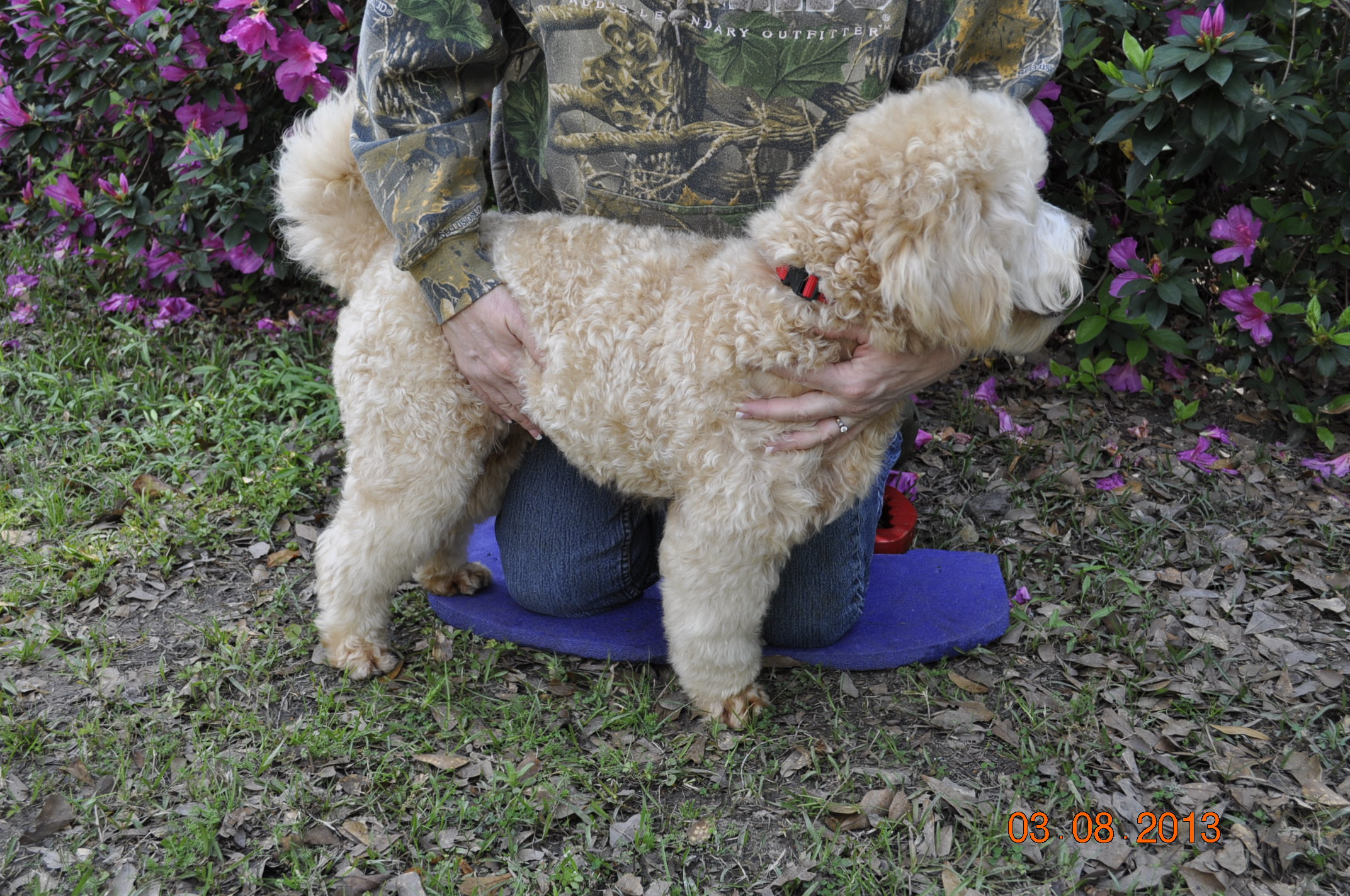 Just Labs Kennels Home Of Labs And Labradoodles Of Southeast Texas