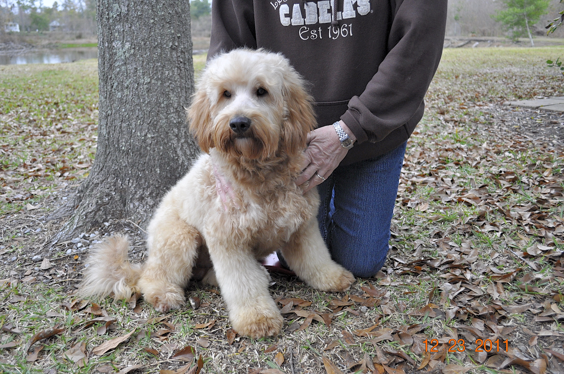 JUST LABS KENNELS - Home of Labs and Labradoodles of